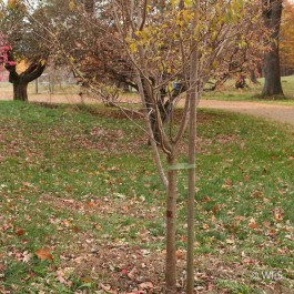 "Premium Lodge Pole Pine, PT 2.5"" x 8', Tru Stake"